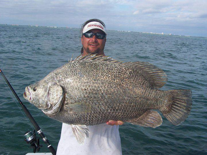 Monster tripletail out of port canaveral with scott lum for Triple tail fish