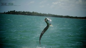 Tarpon hit West Coast of Florida with a BOOM!