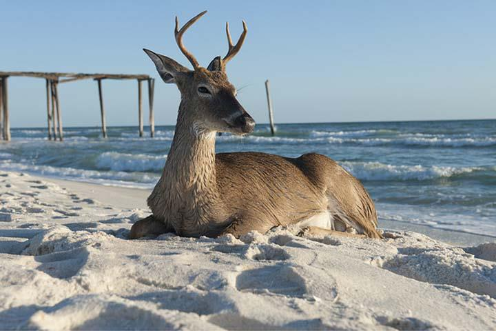 Panama city the vacation capital of the world for deer for Panama city beach fishing