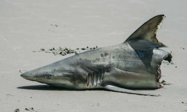 Shark bites man in half