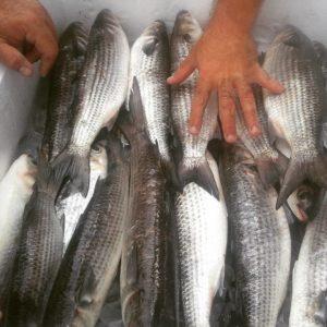 Georgia Coast Mullet run with #georgiasportfishing charters near #jekyllisland a…