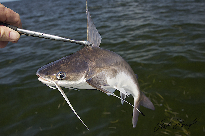 Image gallery everglades catfish for Whiting fish florida