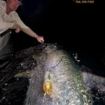 MONSTER 140# Tarpon released out of Miami