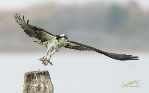 "Osprey version of a McFish Sandwich ""On-The-Go"""