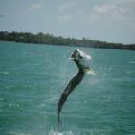 Tarpon hit West Coast of Florida with a BOOM!