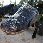 Alabama family battles 1,000 pound Alligator!
