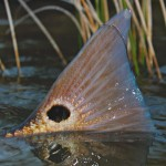 Redfish Tailing by Brandon Barton