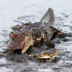 Gator plays TAG with a crab!