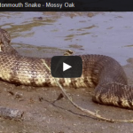 Mossy Oak claims to have found world record cottonmouth