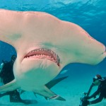 Pat Ford Photographs a Hammerhead up close.
