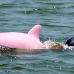 Pinky, the Pink Dolphin spotted mating in Calcasieu River