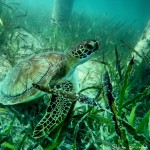 Sea Turtle in Elbow Cay, Bahamas