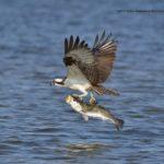 Osprey Fish Fry