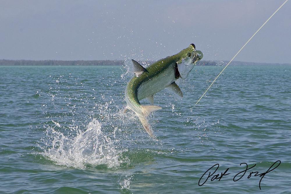 tarpon-fish