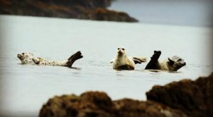 Three hours north of Valdez Alaska, three harbor seals hanging out on submerged …