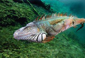 Chris Gillette with EPIC Iguana swim shot.