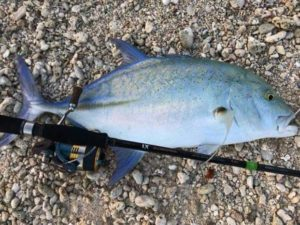 Bluefin Trevally are excellent fighters on light tackle  . .  …