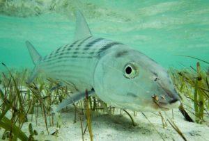 Beautiful Bonefish