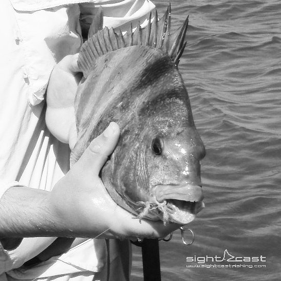 Methods, strategies, and flies for sight fishing to Sheepshead.  Check out the l...