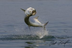 Tarpon Fishing Florida Secrets