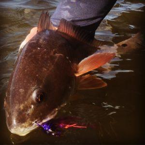 Another beautiful Louisiana redfish!                …