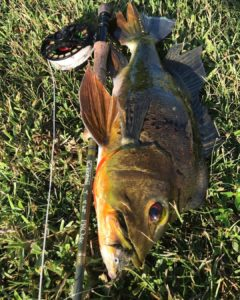 Male Peacock Bass on the fly.                             …