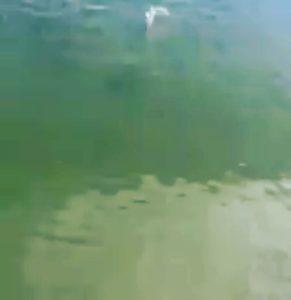 cool short clip school of redfish swimming near  . . . . . .  …