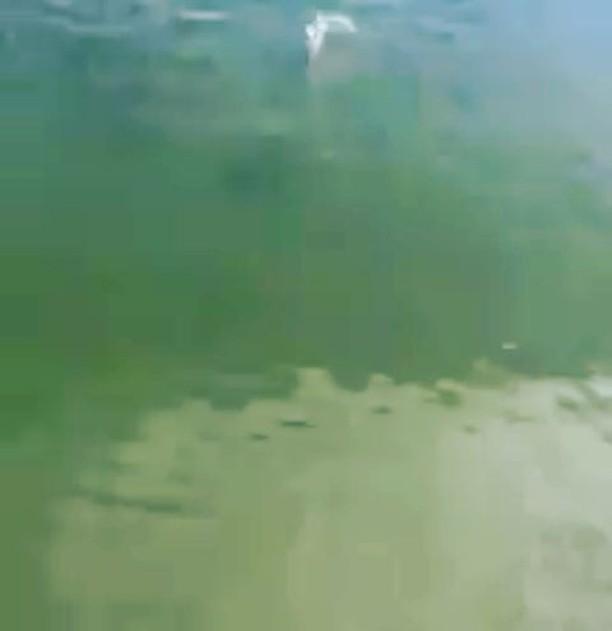 cool short clip school of redfish swimming near  . . . . . .  ...