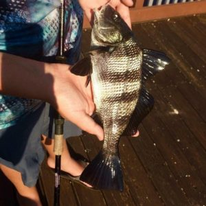 Check out this freshwater drum from  Be sure to tag us in your best catch shots …