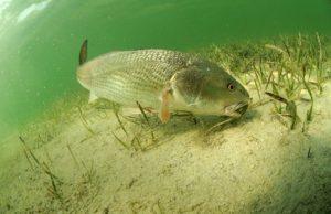 Redfish on the line. . . . . . . .  …
