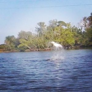 Yesterday's jumped poon at the NMZ Banana River. Win some lose some.            …