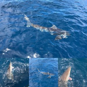 Jumped a black tip / spinner shark.  Till he got off.  Then. Played with this si…