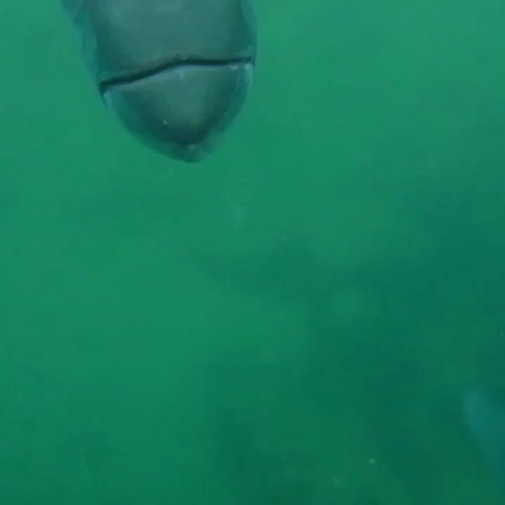Cool Tarpon Closeup Video