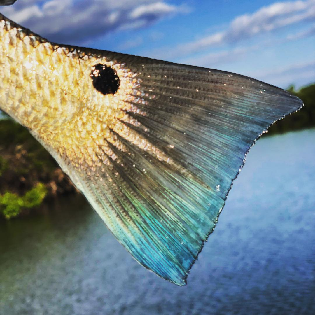 Love those blue redfish tails!