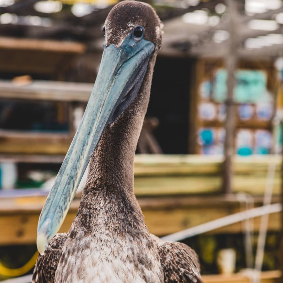 Peter the pelican, here to judge you from a distance and keep you on your toes.