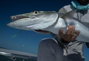 Winter is coming.. along with an influx of big barracudas on the flats. The  wil