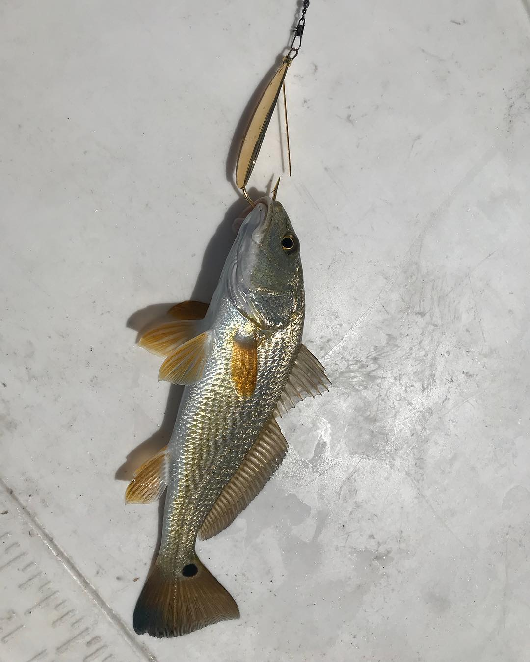 Little Redfish fry - voracious in spite of its size  Laguna Madre