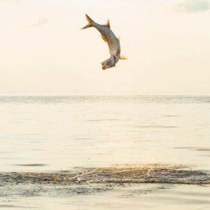 Tarpon Acrobatics