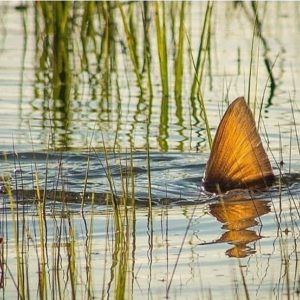 Great picture of a Redfish tailing