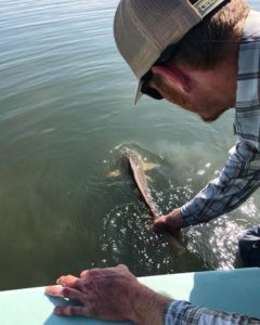 The Sweet Release A beautiful 31 inch redfish being released down in the 9 mile