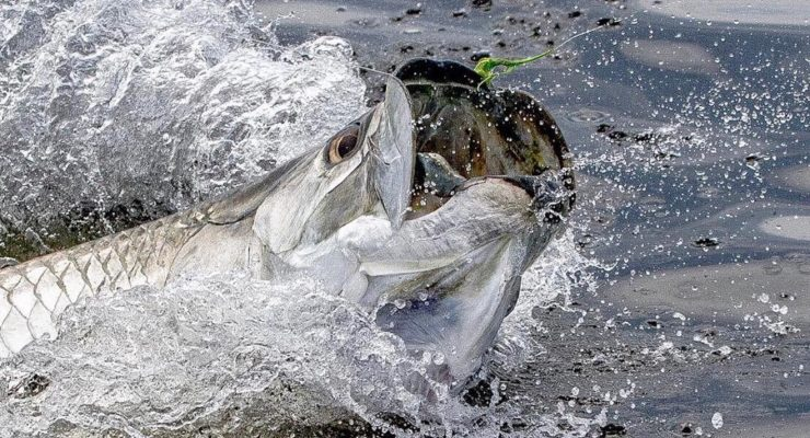 We are Tarpon starved this season... what's your PB this year? . . . . . :