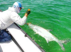 Captain  leadering a nice tarpon   in the Fl Keys!