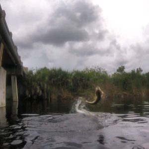 Here's a neat still shot of a jumping snook from some GoPro video I shot today.