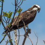 Osprey sight fishing in the Everglades over the weekend