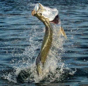 What's better than feeling that bite hit and seeing a nice tarpon jump? @captnic…