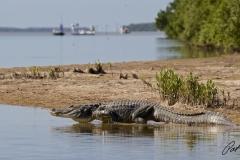 alligator-flamingo-everglades-fishing-pat-ford-skiff-life.jpg