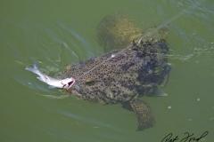 grouper-bit-flamingo-everglades-fishing-pat-ford-skiff-life.jpg