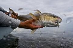 healthy-redfish-flamingo-everglades-fishing-pat-ford-skiff-life.jpg