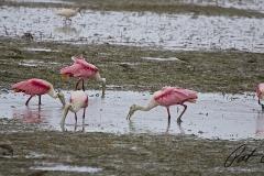 pink-spoonbill-flamingo-everglades-fishing-pat-ford-skiff-life.jpg