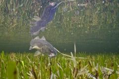 redfish-seagrass-flamingo-everglades-fishing-pat-ford-skiff-life.jpg